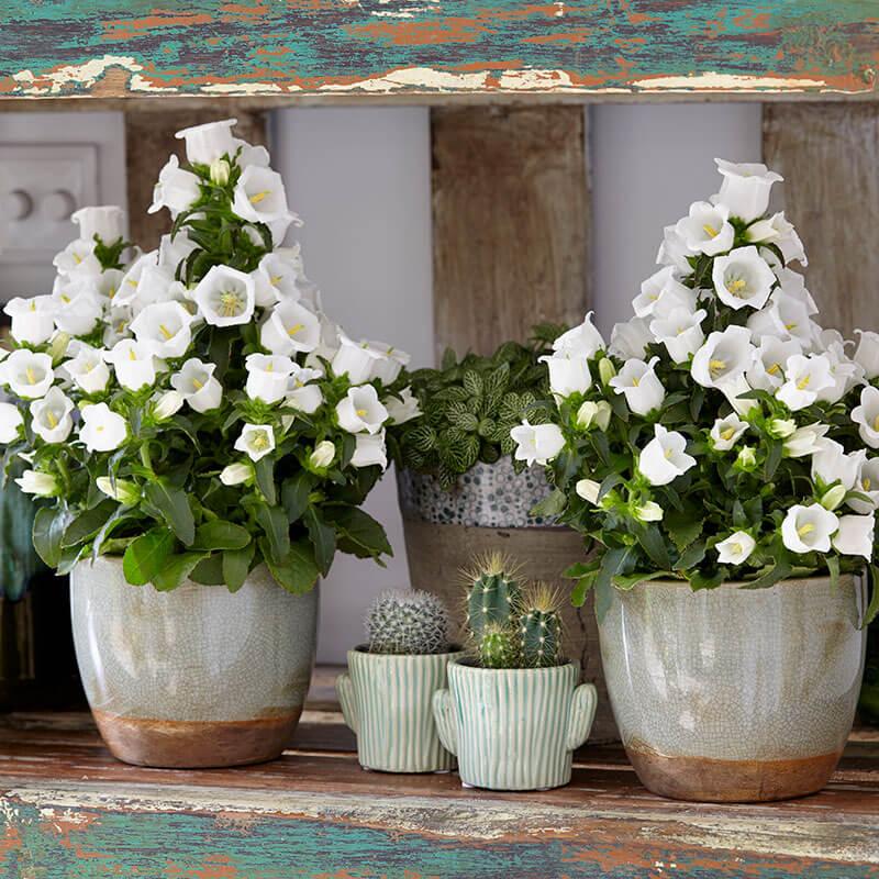 Campanula-Appael-White-2-Stars-plant.jpg